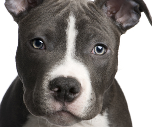 dog, pitbull, and puppy image