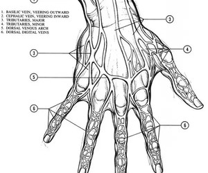hand, muscles, and how to draw image