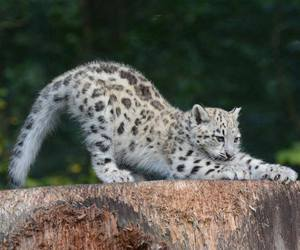 baby animals, snow leopard, and big cats image