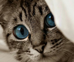 cat, blue, and kitty image