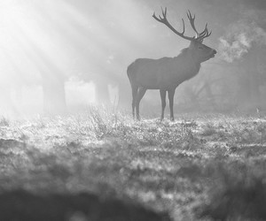 beautiful, black and white, and deer image