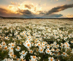 flowers, daisy, and sky image