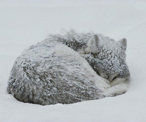 snow, wolf, and cute image