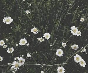 daisy, estonia, and flowers image