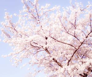 pink, sakura, and cherry blossom image