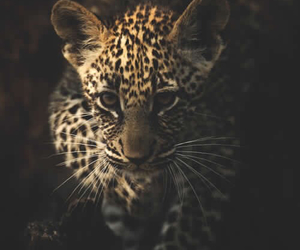 leopard, baby, and animal image