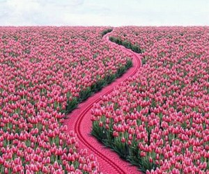pink, flowers, and tulips image