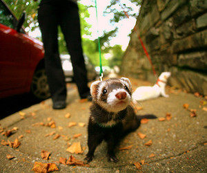 ferrets, walking, and cute image