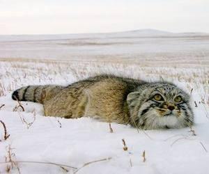 big cat, cute animals, and wild cat image