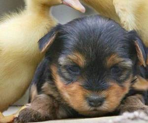 puppy, dog, and ducks image