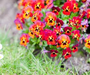 flowers and pansy image