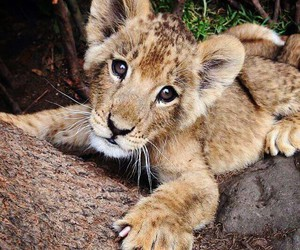 lion, baby, and sweet image
