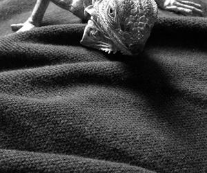 iguana and iguanas image