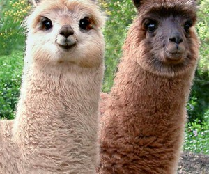 llama, animal, and lama image
