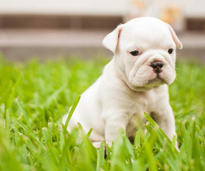 baby, bulldog, and english bulldog image