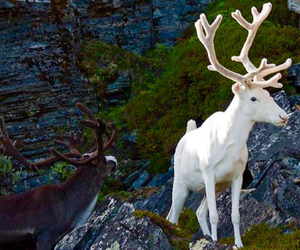 albino, deer, and animal image