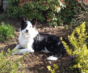 black and withe, border, and collie image