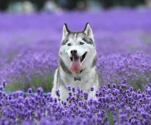 dog, flowers, and husky image