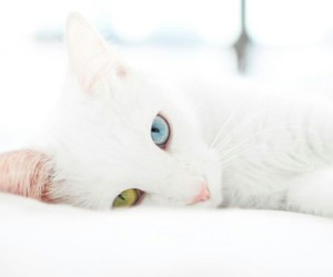 white cat and different color eyes image