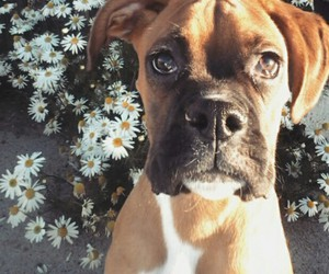 beautiful, boxer, and dog image