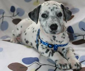 baby animals, cute animals, and dalmation image