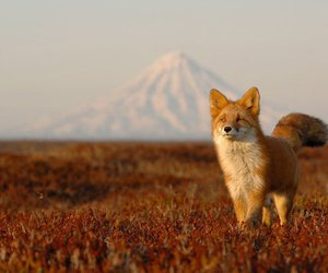 alone, animal, and fox image