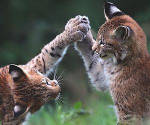 wild cat image