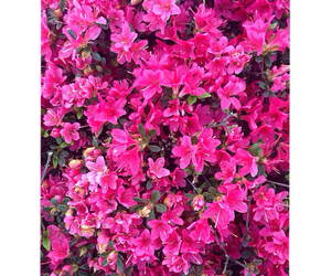 flores, pink, and flower image