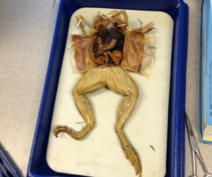 biology, dissection, and frog image