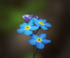 blue, flowers, and forget me not image