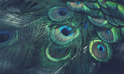 peacock and feather image