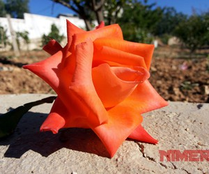 beauty, orange, and roses image