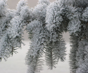 frosted pine tree image