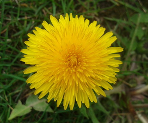dandelion, flower, and pitypang image