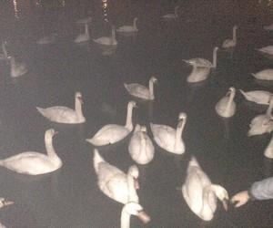 grunge, Swan, and night image