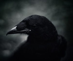 bird, crow, and dark image
