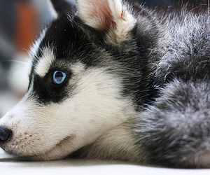 blue eyes, husky, and in love image