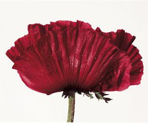 irving penn and red image