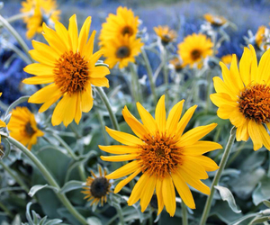 photography, sunflowers, and spring image