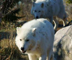 nature, wild, and wolf image