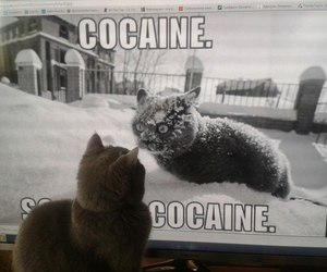 cat, cocain, and cocaine image