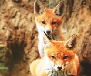 fox and animal image