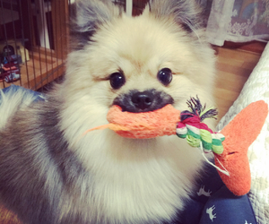 dog, lovely, and pomeranian image