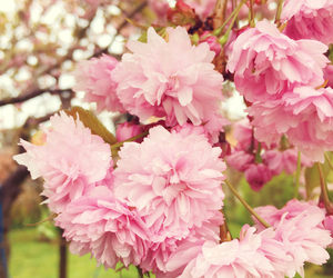 cherry, cherryblossom, and flowers image