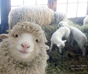 sheep, animals, and selfie image