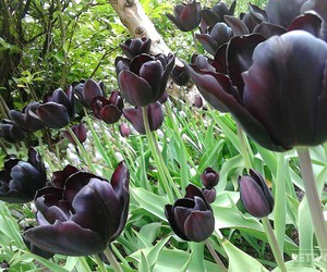 black and tulps image