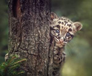baby animals, big cats, and wild cats image