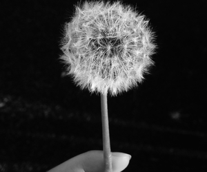 dandelion and black and white image