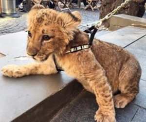 lion cub, wild animals, and adorable image