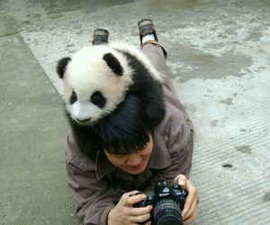 panda, cute, and photography image